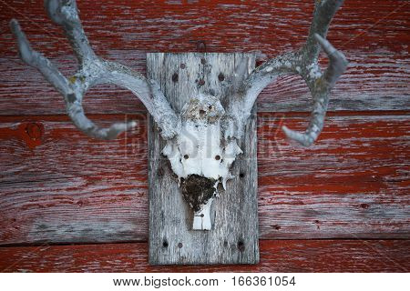 The skeleton of a dead animals head with attached horns nailed to a faded and peeling painted red wood boards