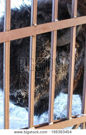 Big head of bison behind a fence. Wild animals in captivity in the open air.