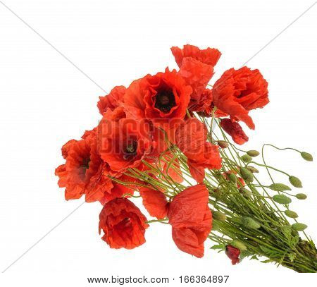 Red poppies (common names: common poppy corn poppy corn rose field poppy Flanders poppy red poppy red weed coquelicot) on white background