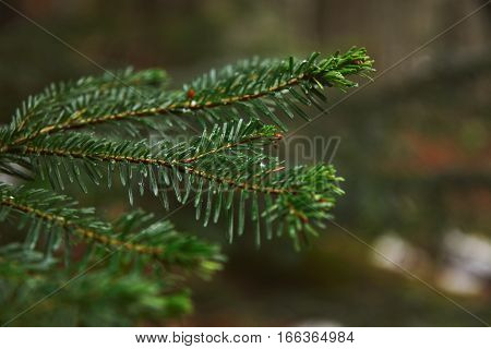 Closeup photo of small branch of pine tree in forest at rainy winter day