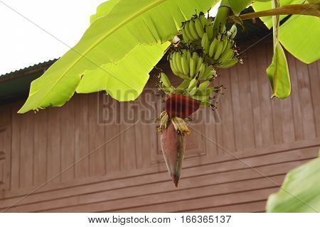 Banana flowers blooming and banana leaf in Thailand