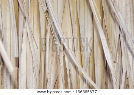 Texture Imperata cylindrica  in Thailand Pattern Background