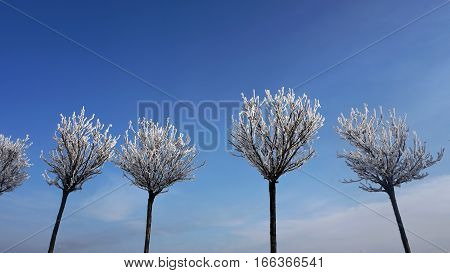 Natural snow in sunny winter weather. Beautiful shape of snowy trees on sky backdrop