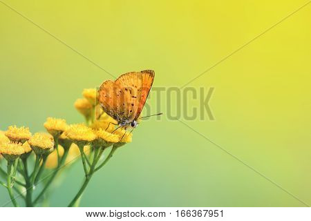 orange beautiful butterfly sitting on yellow flowers of tansy