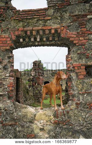June 10 2016 Colon Panama: golden colour vizsla dog at the ruins of fort San Lorenzo a world heritage site