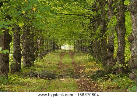 Country road running through tree alley in a beautiful summer day