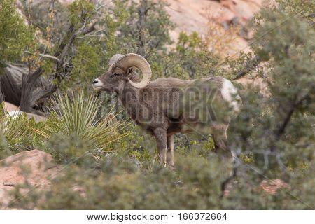 a nice desert bighorn sheep ram in the fall rut in Zion National Park Utah