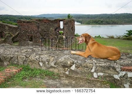 June 10 2016 Colon Panama: golden colour vizsla dog laying at the ruins of fort San Lorenzo a world heritage site