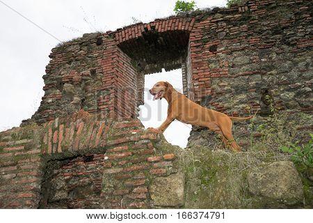 golden vizsla dog standing on old Spanish fort ruin in Panama