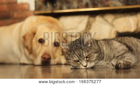 Cat and dog on the floor at home
