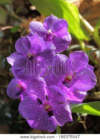 Beautiful purple orchid on green leaf background. Vanda.