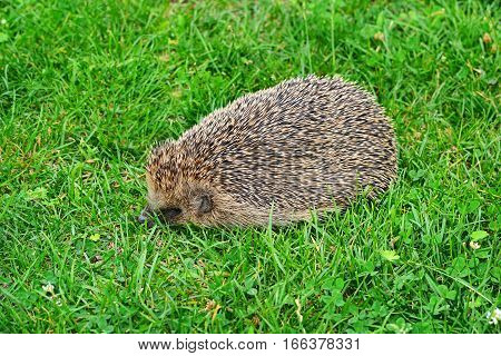 young Prickly hedgehog on a green grass