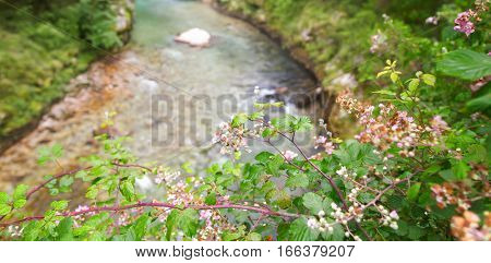 The blossoming bush raspberry against the background of the mountain river. The gorge cloudy foggy summer day on river banks green trees and bushes