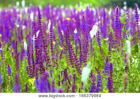 salvia at the summer meadow sage background