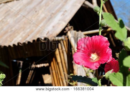 beautiful red flower blossom in local thai style home house and blue sky