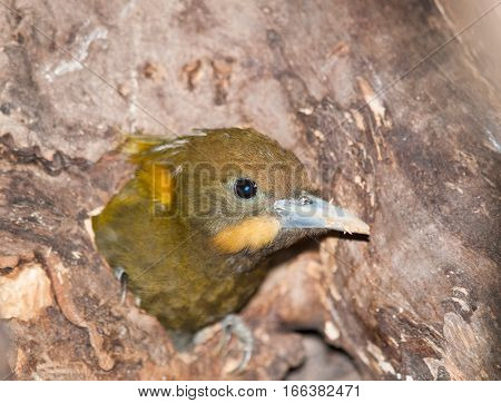Greater Yellownape - Picus flavinucha mystacalis - looking from hollow in the tree