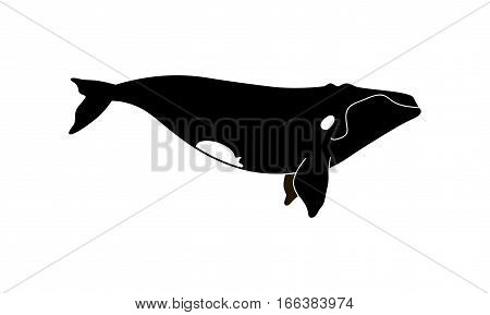 Vector Illustration Of A Right Whale.