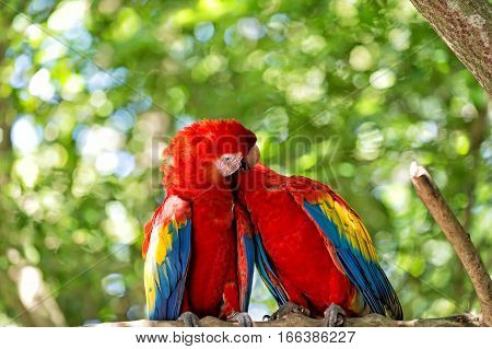 Cute pair of parrots or birds scarlet macaws or ara with red yellow and blue feathers plumage sit on tree branch with green leaves sunny day on bokeh natural background