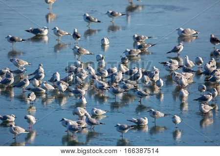 Nursery of gulls and other species of water birds in the winter on a frozen river