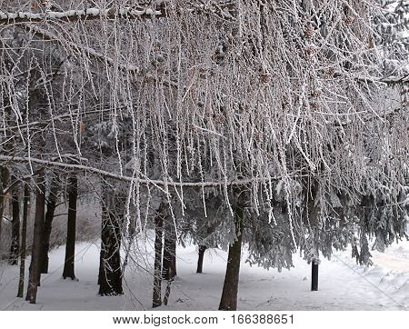 Winter frost. Lodz, Poland - January 19, 2017 Frosted with snow and frost branches of a tree in a park in Lodz.