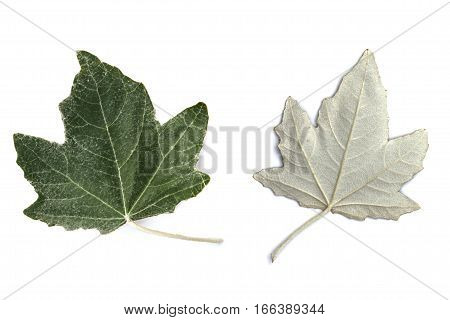 Silver poplar leaves five-lobed with thick covering of white scurfy down on both sides but thicker underneath