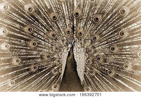 Sepia monochrome close up of a male peacock showing it's feather display