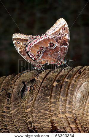 Blue Morpho (Morpho peleides) tropical butterflies mating on a tree trunk
