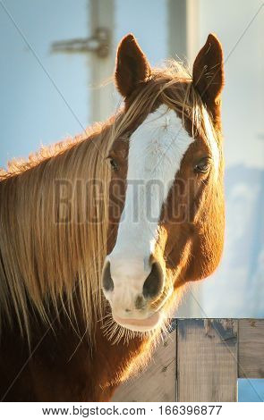 A chesnut quaterhorse mare during the winter.