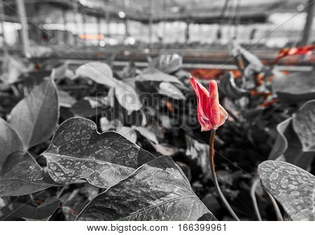 Flamingo flower or Anthurium flower in the greenhouse. Picture in color in black and white tone.