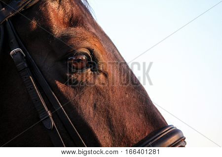 A bay warmblood horse with his beautiful brown eyes.