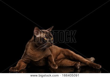 Brown burmese cat with chocolate shining fur lying on isolated black background