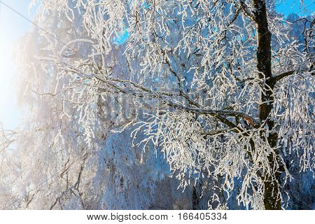 Trees With Snow Covered Branches