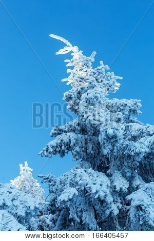 Snow Covered Fir Tree With Blue Sky