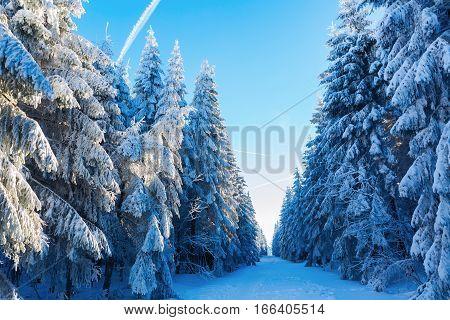 Winter Landscape In A Fir Forest