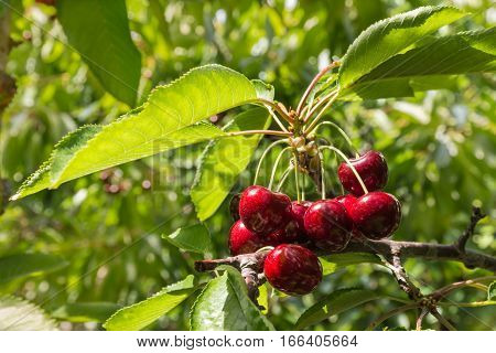 bunch of dark red cherries on tree in cherry orchard