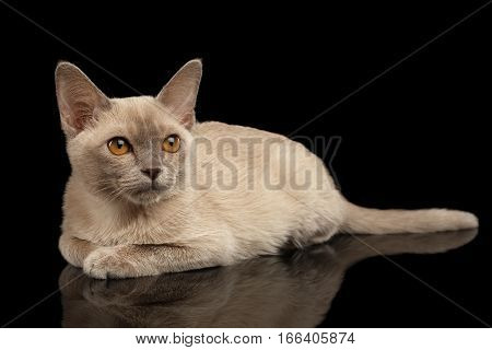 Burmese kitty with platinum color of fur lying and staring up on isolated black background, front view