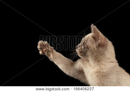 Close-up Burmese kitty touching paw and staring on isolated black background, profile view
