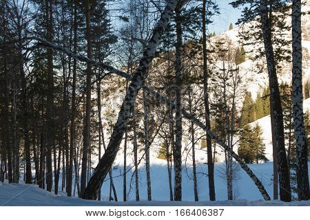 Inclined Birch Forest