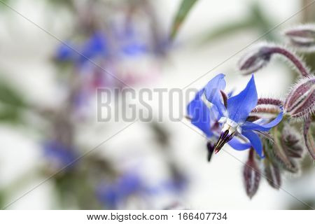 Close up blue borage flowers in front of white background