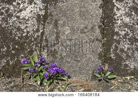 Violet flowers(Viola mandshurica) blooming on concrete in early spring