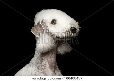 Headshot of Bedlington terrier dog with hairstyle isolated on black background, profile view
