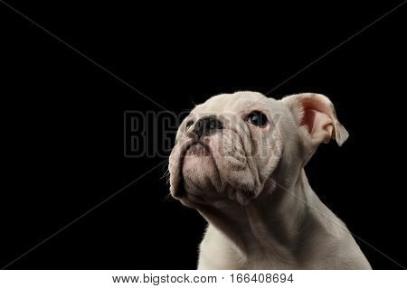 Close-up headshot white puppy british bulldog breed looking up and waiting feed on isolated black background, front view