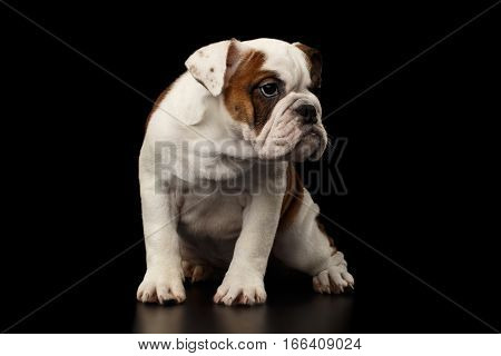 Puppy british bulldog breed, white and red color, sitting and looking at side on isolated black background, front view