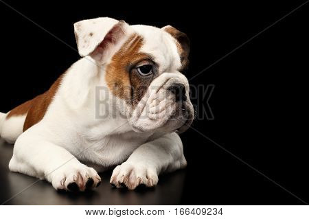 Cute puppy british bulldog breed, white and red color, lying and waiting on isolated black background, side view