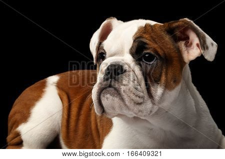 Close-up headshot of puppy british bulldog breed, white and red color, looking with hope on isolated black background