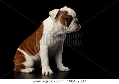 Puppy british bulldog breed, white and red color, Sitting on isolated black background, side view