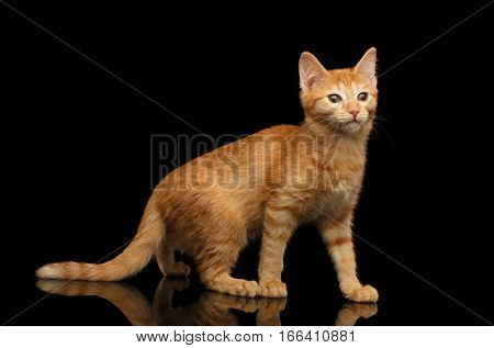 Ginger kitty standing in pose, walking on isolated black background with reflection, side view