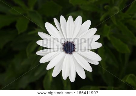 White flower of Cape Daisy (Scientific name: Dimorphotheca pluvialis), also known as weather prophet, African daisy and Cape marigold. It has about twenty one petals.