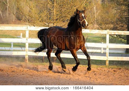A big warmblood mare galoping in the paddock.