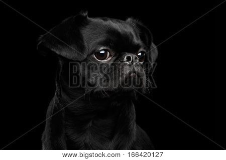 Close-up headshot of Amazing petit brabanson dog sadly looks on isolated black background, profile view